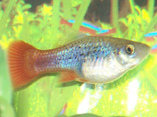 Pregnant platy aquarium advice aquarium forum for Pregnancy and fish